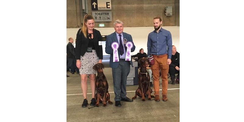 Dansk vinder udstilling i  Herning  04.11.2018 Dommer Philip Behan ( IR )